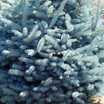 Picea pungens 'Misty Blue' - Srebrna smreka