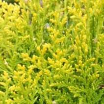 Platycladus or. 'Aurea Nana'