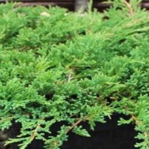 Juniperus hor. 'Prince of Wales'