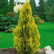 Thuja occ. 'Golden Anne'®