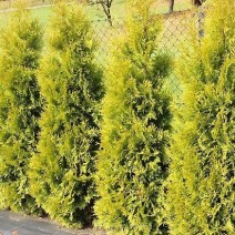 Thuja occidentalis - cipresa 'Salland'