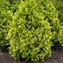 Thuja occidentalis - cipresa 'Sunkist' klek