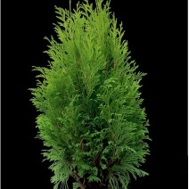 Thuja occidentalis - cipresa  'Tip Top'