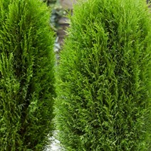 Thuja occidentalis Totem Smaragd®