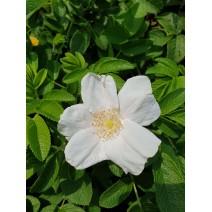 Šipek, japonski - Rosa rugosa Alba