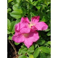 Šipek, japonski - Rosa rugosa Rubra