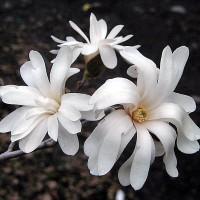 Magnolija 'Royal Star'