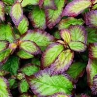 Parrotia - Perzijska bukev 'Persian Spire'®