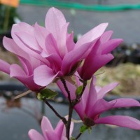 Magnolija 'Betty'