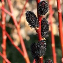 Salix gracilistyla 'Melanostachys' -  Okrasna Vrba