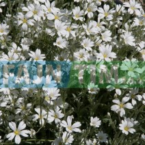 Trajnica Cerastium tomentosum