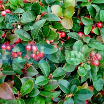 Trajnica Gaultheria procumbens Big Berry