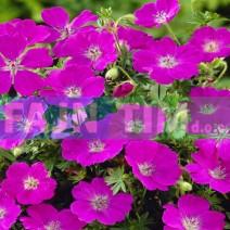Trajnica Krvomočnica Geranium sanguineum Max Frei