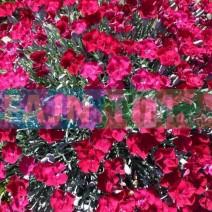 Trajnica nagelj Dianthus grat.Rubin