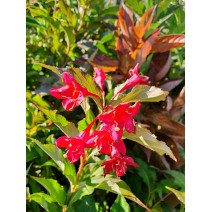 Weigela 'Lucifer'®