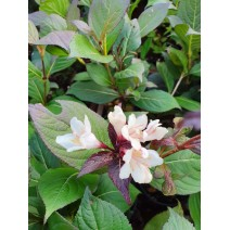 Weigela 'Ebony and Ivory'®