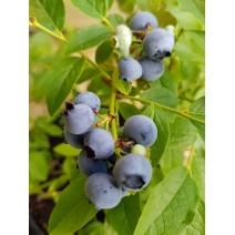 Ameriška borovnica  Chanticleer 0,5 L