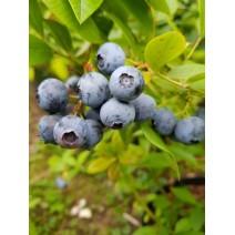Ameriška borovnica Bluegold 0,5 L