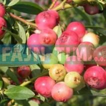 Ameriška borovnica Pink Blueberry 0,5 l