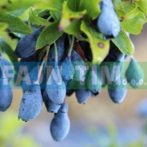 Azorska borovnica