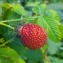Jagodna malina Rubus illecebrosus lonec 2l