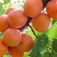 Marelica Orange red M29C