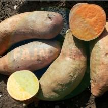Sladki krompir - Ipomea Batata oranžen