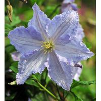 Srobot - Clematis 'Błękitny Anioł BLUE ANGEL'