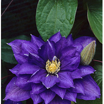 Srobot - Clematis 'Beauty of Worcester'