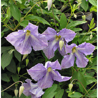 Srobot - Clematis 'Betty Corning'