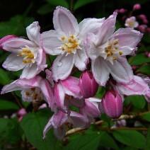 Deutzia 'Kalmiiflora'