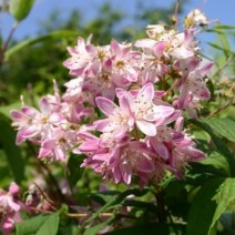 Deutzia rosea