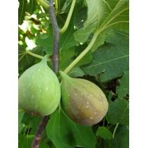 Figa - Ficus car. 'Francesca' C1