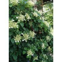 Hortenzija  'Petiolaris'®