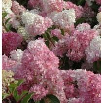 Hortenzija  'Pink Lady'®
