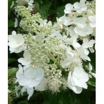 Hortenzija  'White Lady'®