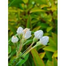 Kalmia latifolia Elf