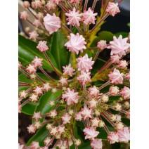 Kalmia latifolia Blandeau