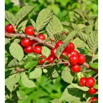 Češnja korejska Prunus tomentosa
