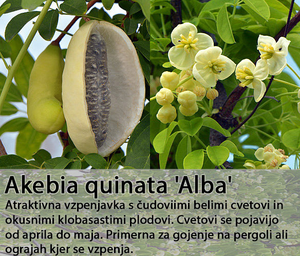 Akebia Alba