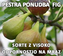 Fige Smokve