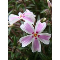 Trajnica Phlox subulata Kimono Pink White