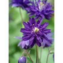 Trajnica Aquilegia vulgaris var.stellata Blue Barlow