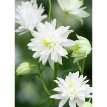 Trajnica Aquilegia vulgaris var.stellata White Barlow