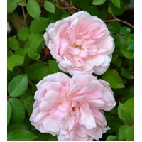 Vrtnica Albertine