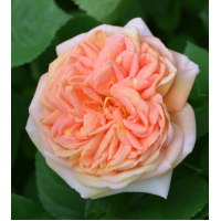 Vrtnica Alchymist