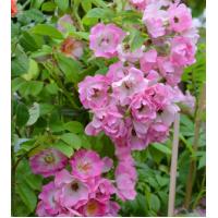 Vrtnica Apple Blossom