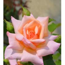 Vrtnica Compassion