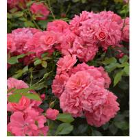 Vrtnica Elfrid