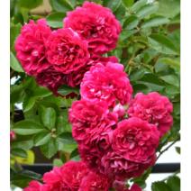 Vrtnica Excelsa
